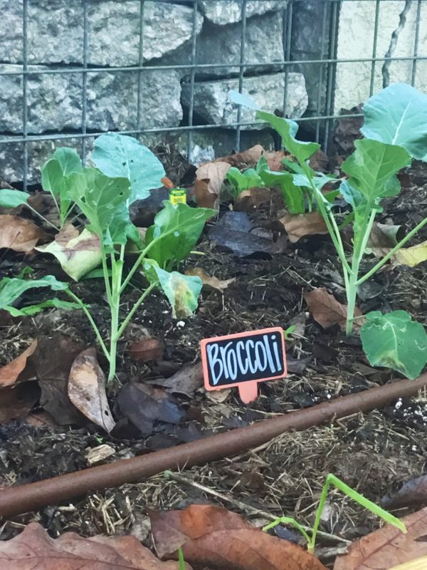 growing-broccoli